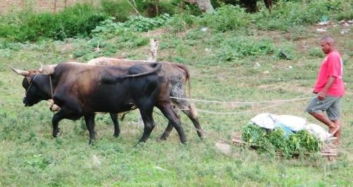 2014-10-03 Oxen 1  Cr