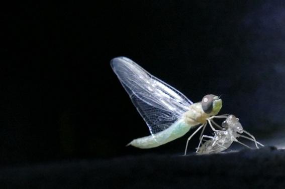 SS 2015-02-05  Dragonfly 4  R