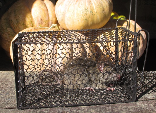 2015-05-21 rat and pumpkins  Cr