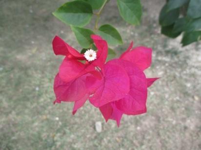 2015-07-02 bougainvillea blossom  R