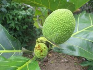 2015-07-02 breadfruit.  R jpg